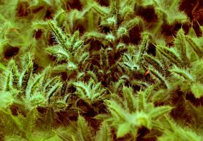 Borago officinalis by jagerion