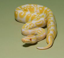 Albino python stock by AngiWallace
