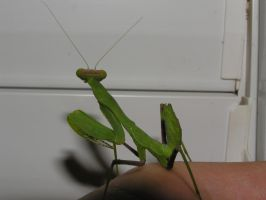 Mantis2 by Kutaly