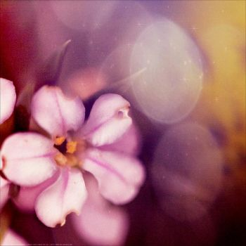 Pink Flower by S-Banh