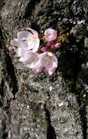 Cherry Blossoms On a Trunk by kelida