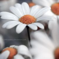 Daisyness by notoca