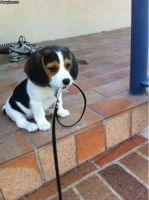 my cousins adorable pet beagle by PatchesTheKat