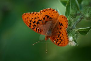 Orange Butterfly on Plant by houstonryan