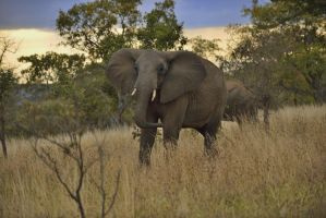 African elephents, Tanzania by laogephoto
