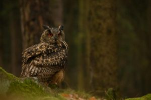 eurasian eagle-owl by morho