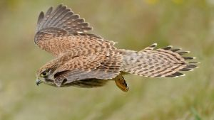 Kestrel fly by by pixellence2
