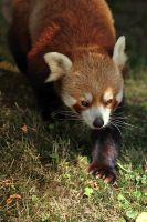 Red Panda by Saromei