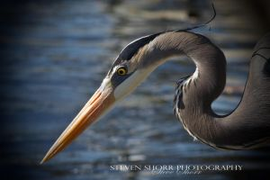 Great Blue Heron-3 by Mac-Wiz