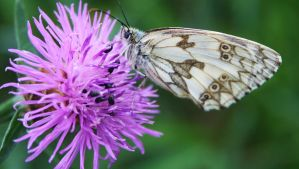 Marbled White Butterfly 3 by Raah-man