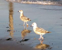 Seagull reflections by Cazamelia