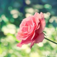 Rose 1 by FrancescaDelfino