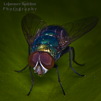 Housefly on the house 3 by lee-sutil