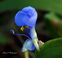 Floweer-in-blue by fotoponono
