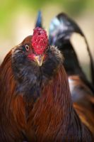 Rooster Feathers by DeniseSoden