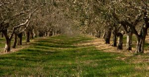 Olive trees by lpetrusa
