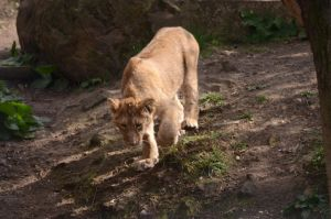 Lion Cub 1 by Lakela