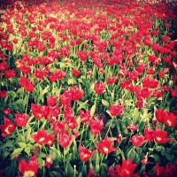Turkish Tulips by lostknightkg