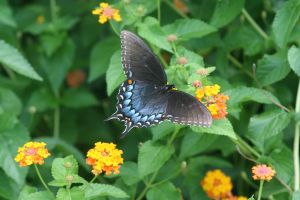 Tiger Swallowtail Butterfly 1 by cupycake66