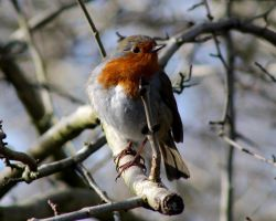 Tree Robin 1 - Who Are You? by bulldogstoy