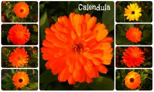 Types of Calendula by Mialogica