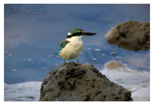 Sacred King Fisher by zippy6234
