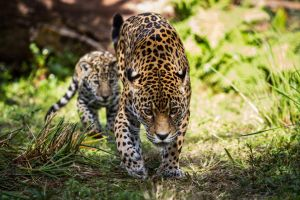 Jaguars 3 by 904PhotoPhactory