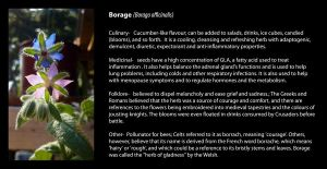 Borage Reference by ValkyrieOfODIN