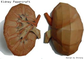 Kidney Papercraft by Shinaig