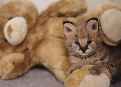 Serval Cuddle by FSGPhotography