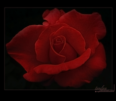 another rose by tavfan