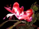 Schlumbergera rot 22 by Rossnta