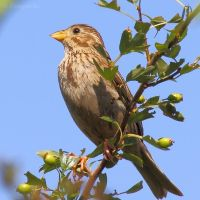 Corn bunting sunbath by Jorapache