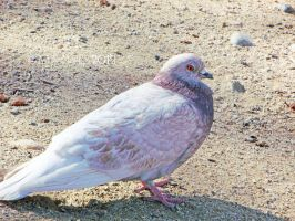 Red-Eyed Pigeon by dreamingshadow18