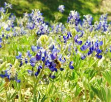 Bluebonnet and Bee by HA91
