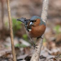 Chaffinch by Carcaneloce