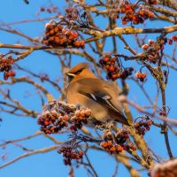 Waxwing I by Toni-R