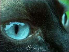 My siamese by MaeXtaSiA