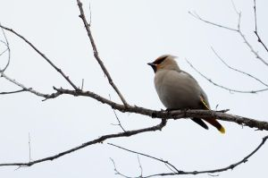 Bohemian Waxwing by GuillaumGibault
