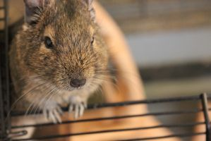 Good Morning, Degu by landkeks