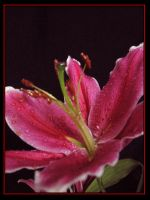 Pink Blossom by mustingel