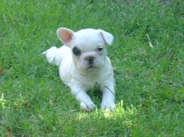 french bulldog 6 by merletko