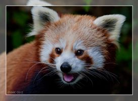 Red Panda by RoyallyCrimson