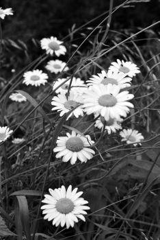 Daisies BW by sis3922