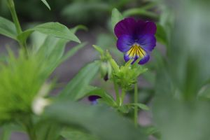 Viola tricolour by FreedomeSoul88