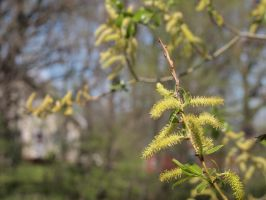 Catkins by techunit