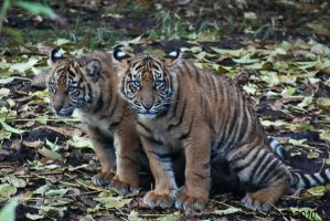 Tiger Cubs by DanielleMiner