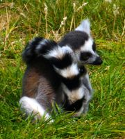 Ring-tailed Lemur by markeverard