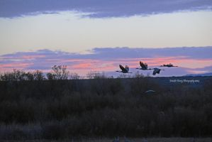 Sandhill Cranes in the Lavender Light by MorrighanGW