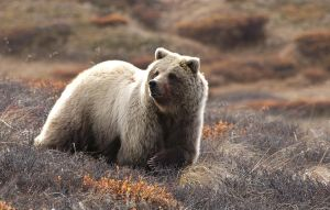 Denali Bear 01 by JWFisher